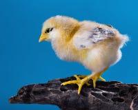 Cute little newborn chicken Royalty Free Stock Photos
