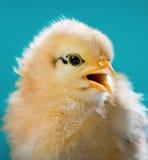 Cute little newborn chicken Stock Photography