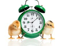 Cute little newborn chicken. Cute little chickens with alarm clock  on white background Royalty Free Stock Photography