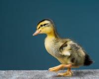 Cute little newborn duckling Royalty Free Stock Image