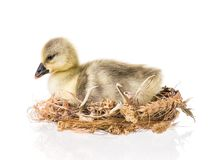 Cute newborn gosling. Cute little newborn fluffy gosling in nest. One young goose isolated on a white background. Nice geese big bird Royalty Free Stock Photos