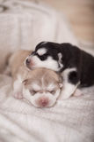 Cute little newborn husky lying together and sleeping Stock Photography