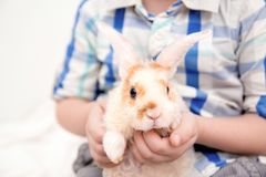 Cute little orange and white color bunny with big ears. rabbit in boy hands. close up - animals and pets concept. Cute little orange and white color bunny with royalty free stock image