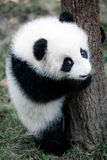 cute little panda Royalty Free Stock Image