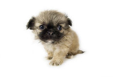Cute little pekingese puppy. On white background stock image
