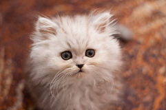 Cute little Persian kitten close up Stock Image