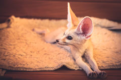 Cute little pet fox relaxing on soft blanket stretching his paws Stock Image