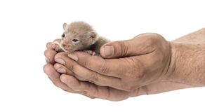 Cute little Peterbald cat kitten on the human's hands Royalty Free Stock Photo