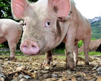 Cute little pig. Cute young free living  pig on a farm Stock Photo