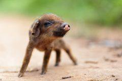 Cute little pig. Cute little asian pig on a dirty country road, shallow depth of field Stock Image