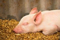 Cute little pig asleep on farm Stock Photography