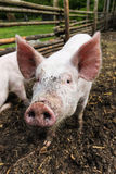 Cute little pig on the farm Stock Photography