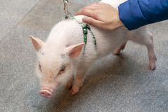 Cute little pig on a leash. stock photo
