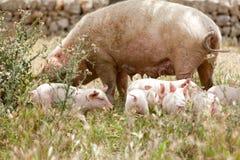 Cute little pig piglet outdoor in summer Stock Image
