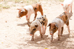 Cute little pig piglet outdoor in summer Stock Photo