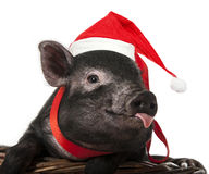 A cute little pig with santa cap. Sitting in a basket stock images