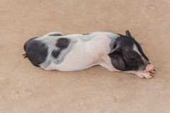 Cute little pig sleeping Stock Photo