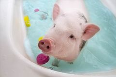 Cute little piggy floating in blue water royalty free stock image