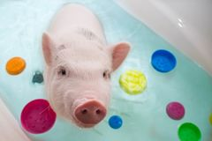 Cute little piggy floating in blue water stock photos