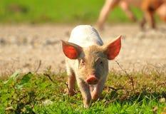 Cute little piglet on farm. Funny scene stock image