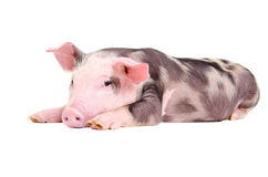 Cute little piglet Stock Photos