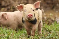 Cute little piglet royalty free stock images