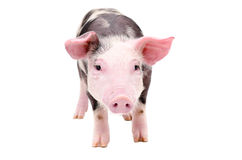 Cute little piglet Stock Photo