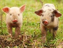 Cute little piglets stock photos
