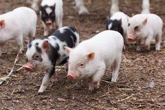Cute little piglets. Running around on the farm stock photo