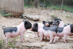 Cute little pigs Stock Photo