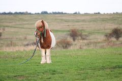 Cute Little Pony Grazing in the country side. Cute little pny with an attitude grazing on the country side stock image
