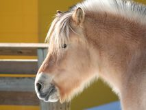 Cute Little Pony. Head shot captured with blurred barn and fence background royalty free stock images
