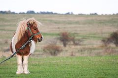 Cute Little Pony Grazing in the country side. Cute little pny with an attitude grazing on the country side stock photos
