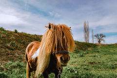 Cute Little Pony Standing in Field. Selective Focus Royalty Free Stock Photo
