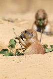 Cute little prairie dog Royalty Free Stock Image
