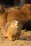 Cute little prairie dog Royalty Free Stock Photography