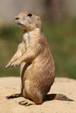 Cute little prairie dog in characteristic posture. On sandy patch Stock Image
