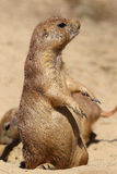 Cute little prairie dog in characteristic posture. On sandy patch Royalty Free Stock Images