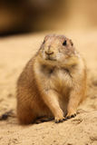 Cute little prairie dog looking to the left Royalty Free Stock Photos