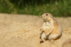 Cute little prairie dog sitting on a hill Royalty Free Stock Images