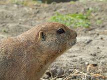 A prairie dog up close. A cute little prairie dog up close. Looks like he smells something nice royalty free stock image