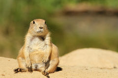 Cute Little Prairie Dogs Sitting And Looking At Yo Stock Images