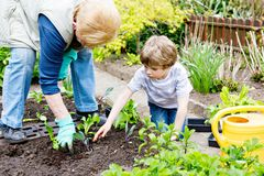 Cute little preschool kid boy and grandmother planting green salad in spring. Happy blond child and elderly woman, grandmum having fun together with gardening stock image