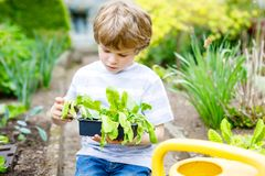 Cute little preschool kid boy planting green salad seedlings in spring. Cute little preschool kid boy planting green salad in spring. Happy child having fun with royalty free stock image