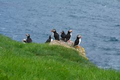 Puffins on Mykines island in The Faroe Islands