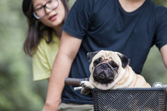 Cute little pug dog in the basket of bicycle Stock Photography