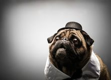 Curious pug dog in a black hat. Stock Photos