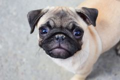 Cute little pug dog puppy looks at me with face expression `come on, let`s have some fun!`. Cute pug puppy with adorable eyes waiting for me to have fun and Stock Photography
