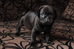 Cute little pug. My little pug puppy. Love Stock Photo