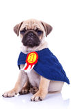Cute little pug puppy dog champion Royalty Free Stock Image